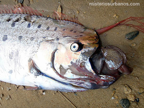 pez-remo-muerto-playa-california
